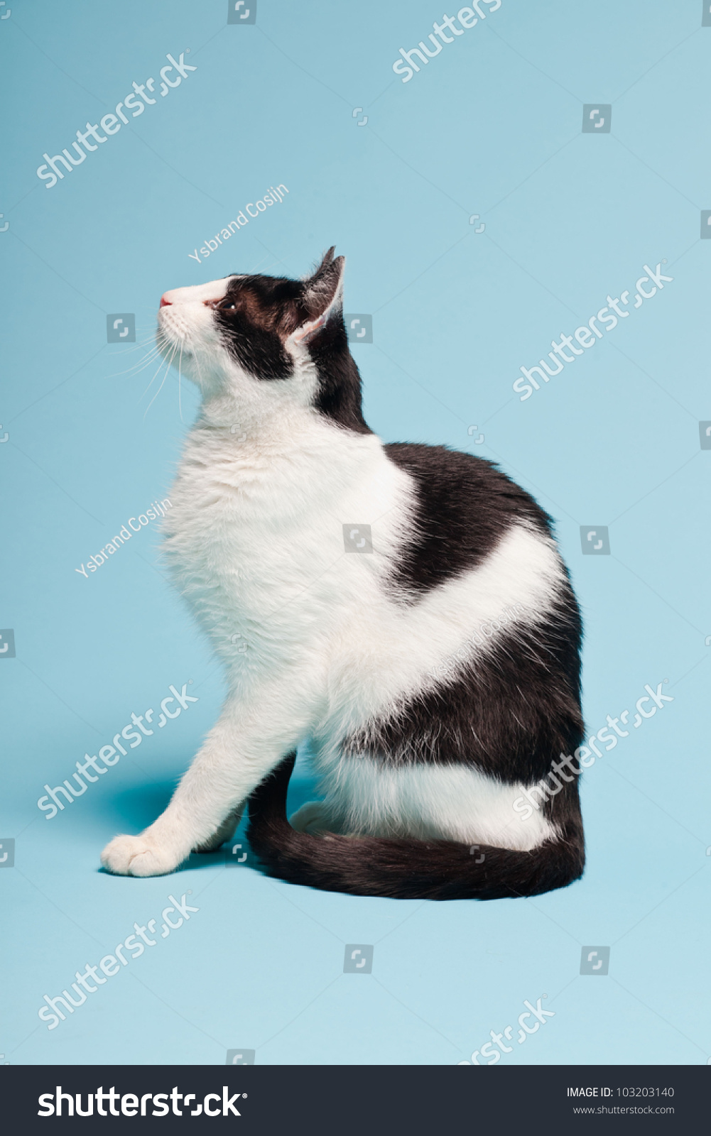 tallest domestic cat