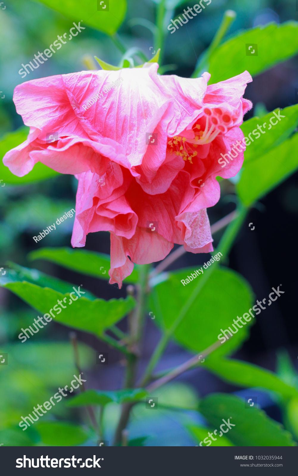 Hibiscus flower chinese rose chaba flower hawaiian stock photo hibiscus flower chinese rose chaba flower hawaiian stock photo royalty free 1032035944 shutterstock izmirmasajfo