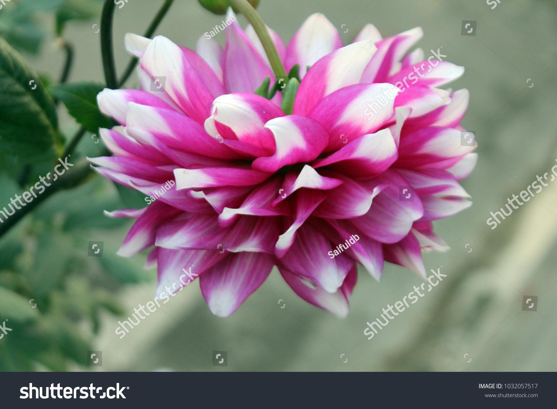 Dahlia flower on isolated background jowey winnie ez canvas id 1032057517 izmirmasajfo