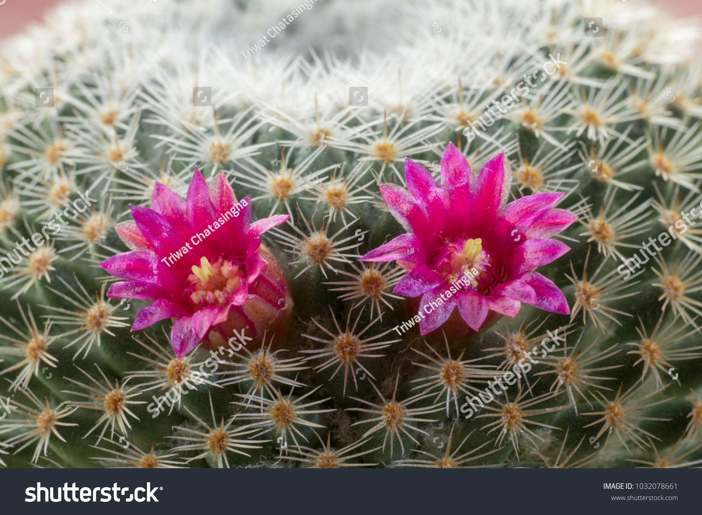 Cactus Flower Ez Canvas