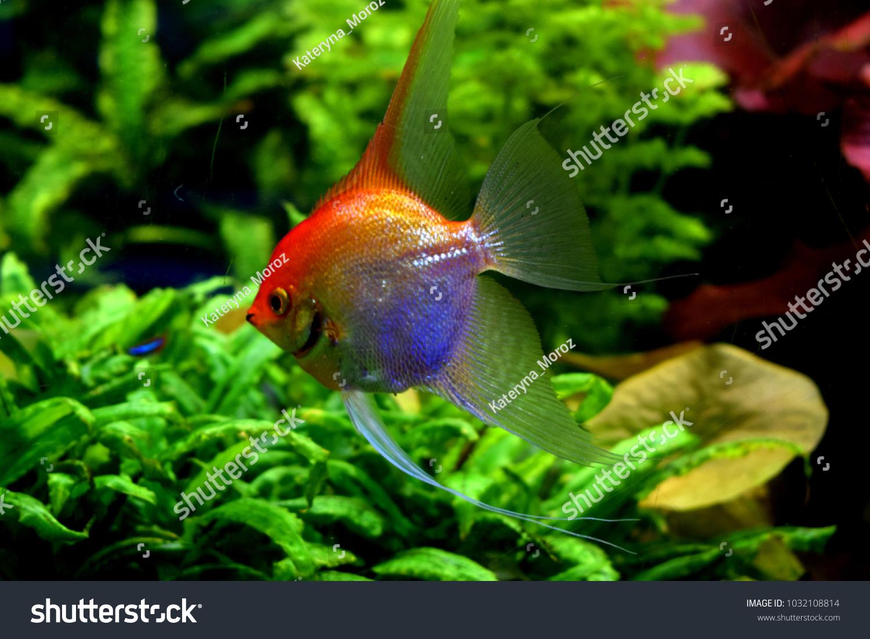 Pterophyllum Small Genus Freshwater Fish Family Stock Photo (Edit ...