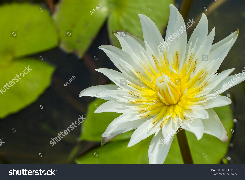 Elegant white lily flower lotus in water the lotus flower water id 1032171199 izmirmasajfo