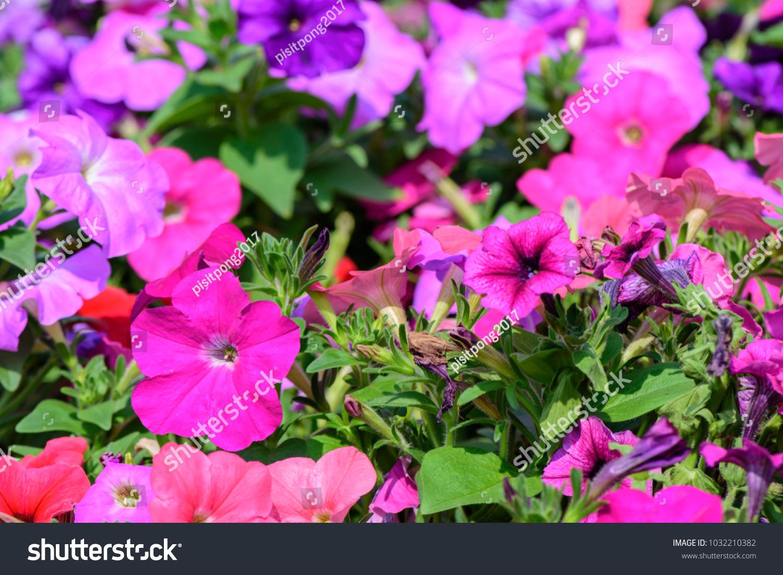 Petunia Hybrida ; A plentiful field and eye-catching of brightly ...