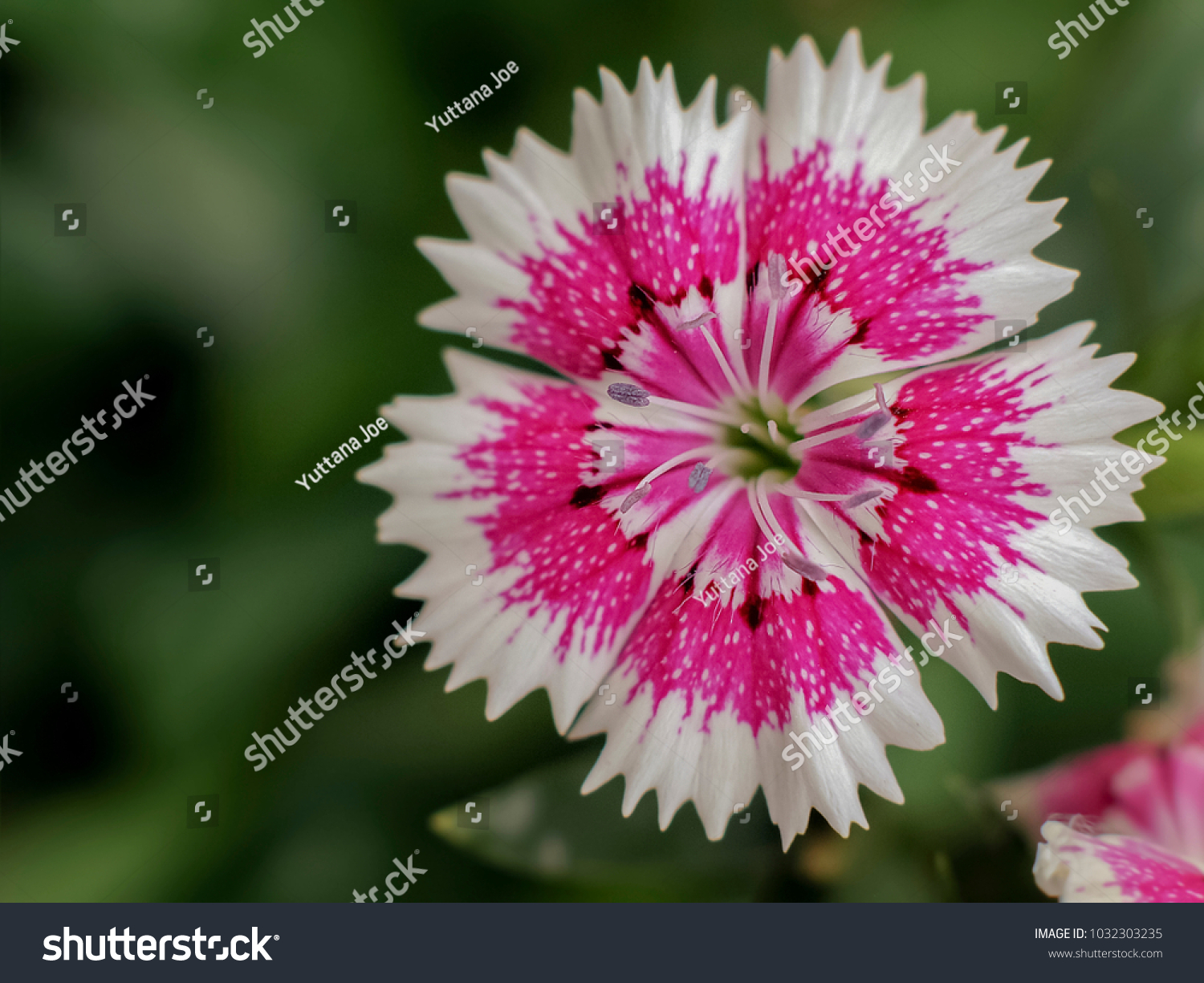 Close Sweet William Flower Colorful Pinkwhite Stock Photo Edit Now