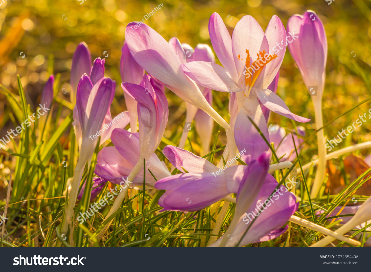Crocus Plural Crocuses Croci Genus Flowering Stock Photo Edit Now