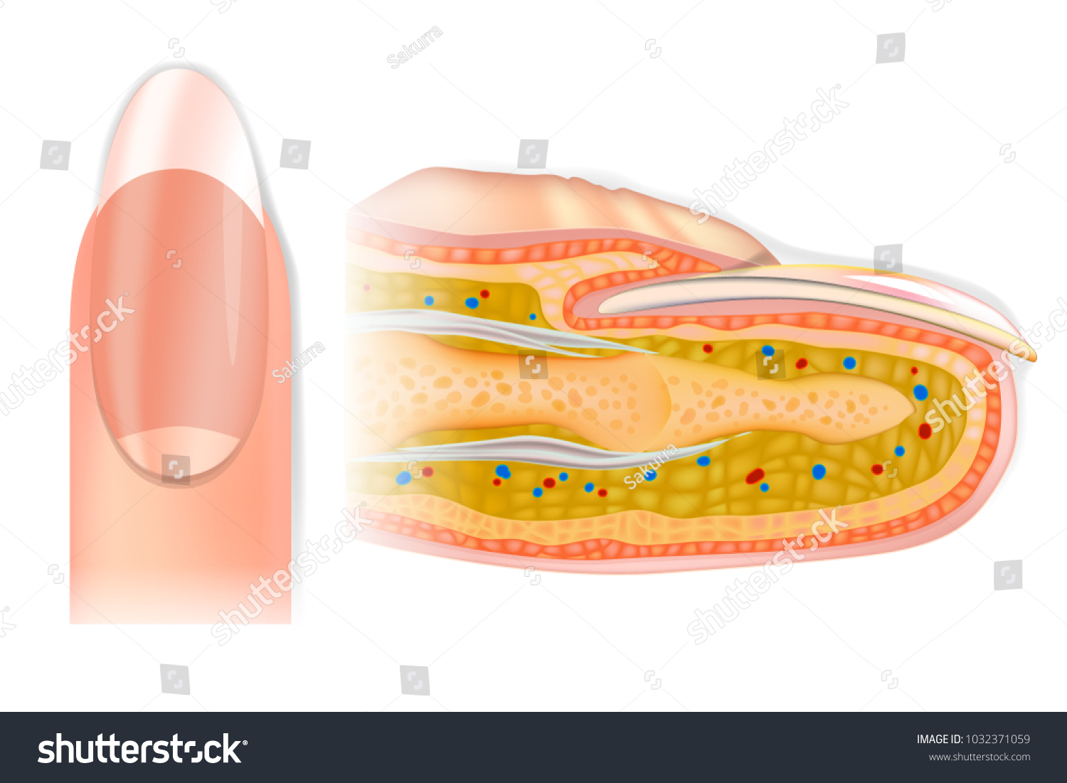 Human Crosssection Finger Structure Anatomy Finger Stock Vector ...