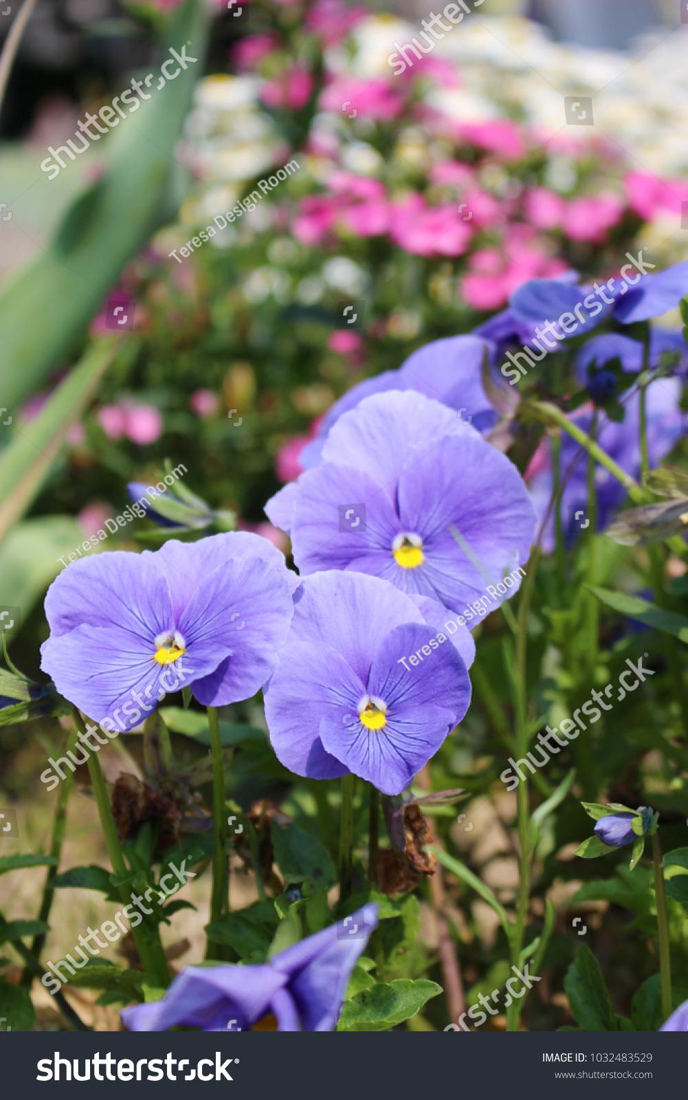 Light Purple Flowers Of Pansy Ez Canvas