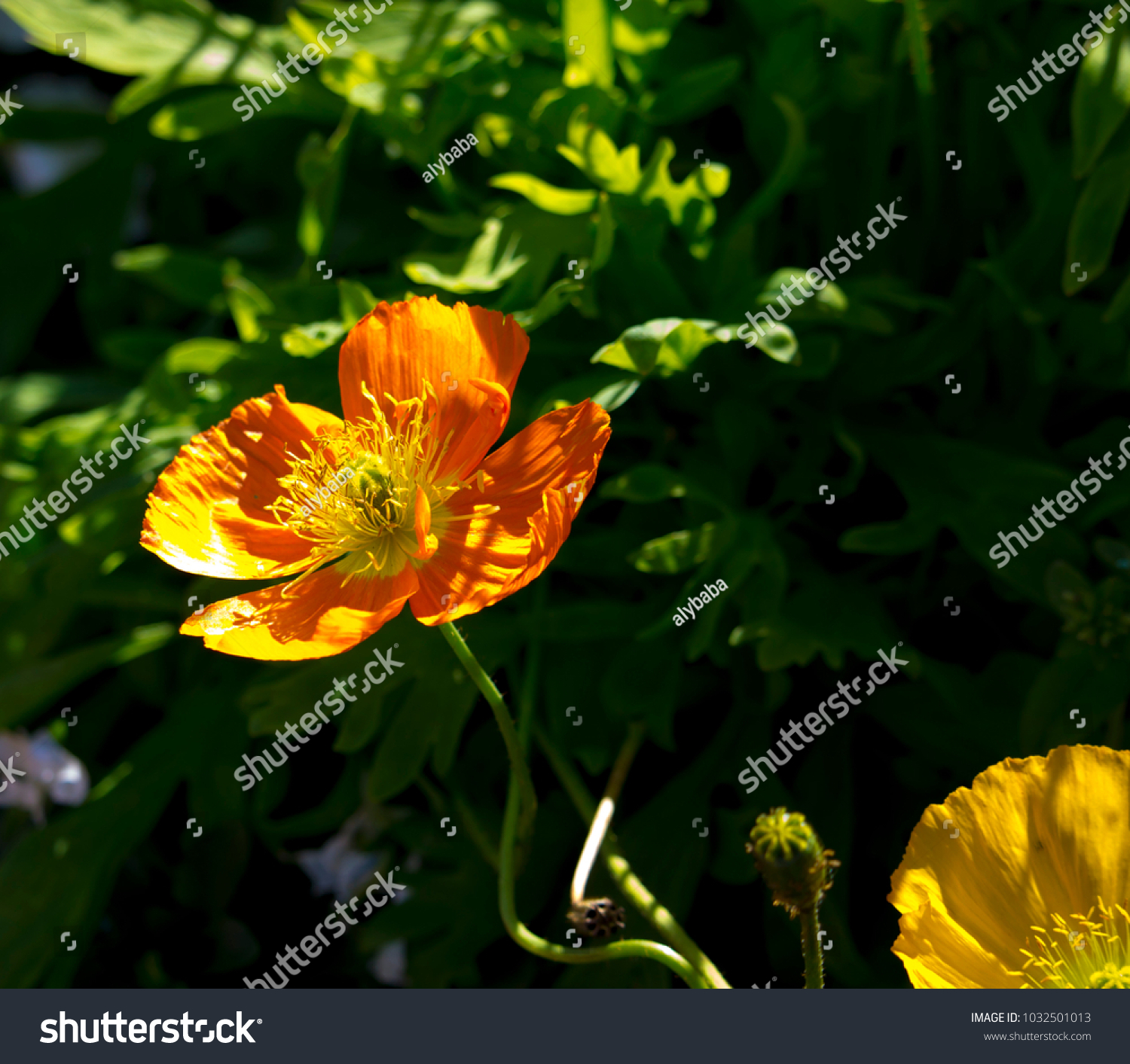Dazzling Bright Yellow Poppies Flowering Plants Stock Photo Royalty