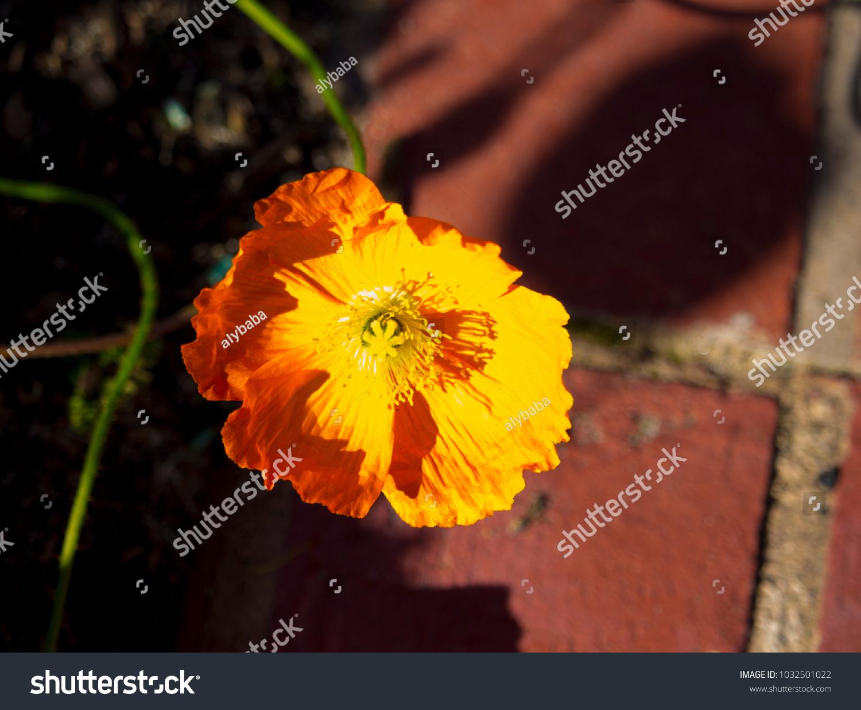 Dazzling Bright Yellow Poppies Flowering Plants Stock Photo Edit