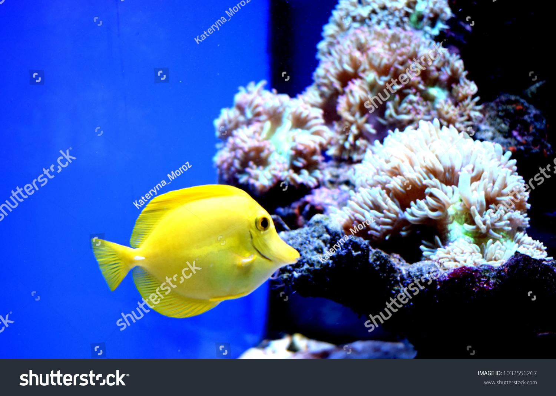 yellow tang zebrasoma flavescensis saltwater fish family stock photo
