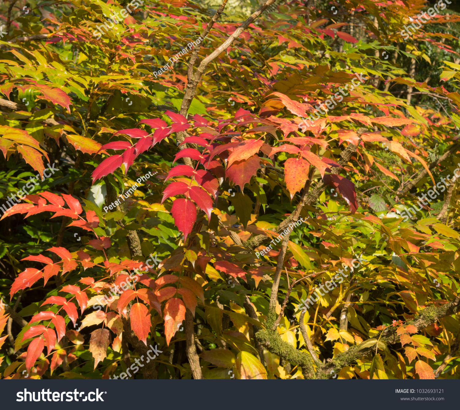 Winter Colours Of Mahonia Japonica (Japanese Mahonia) In A Woodland
