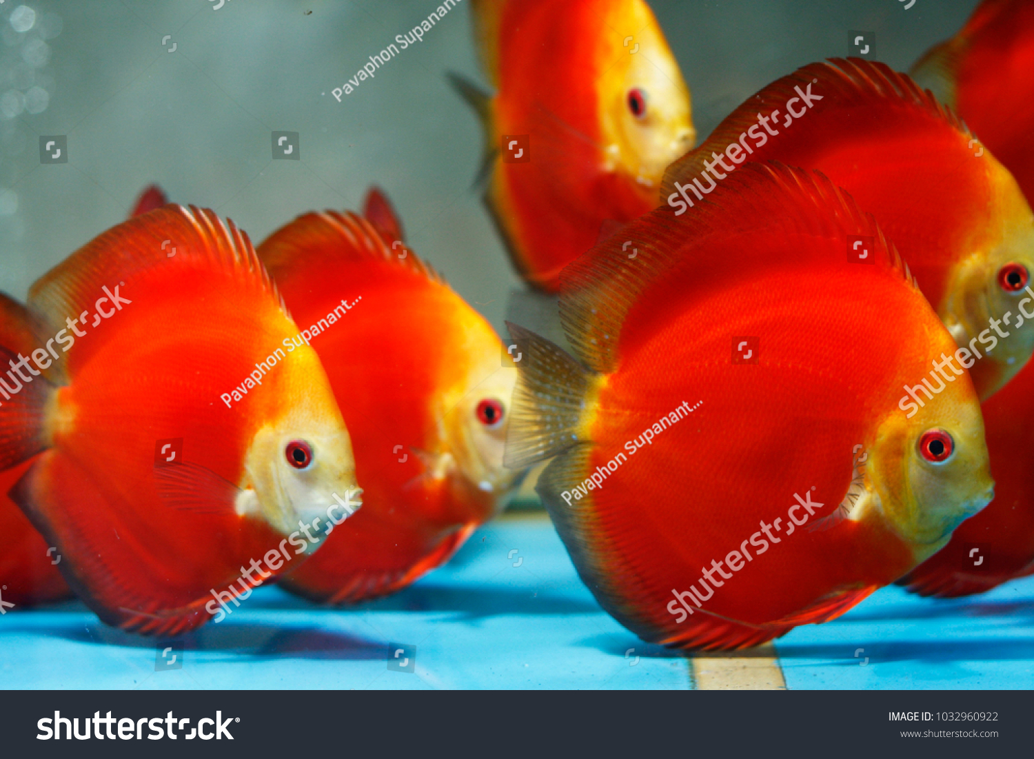 Red Melon Yellow Face Discus Stock Photo (Royalty Free) 1032960922 ...