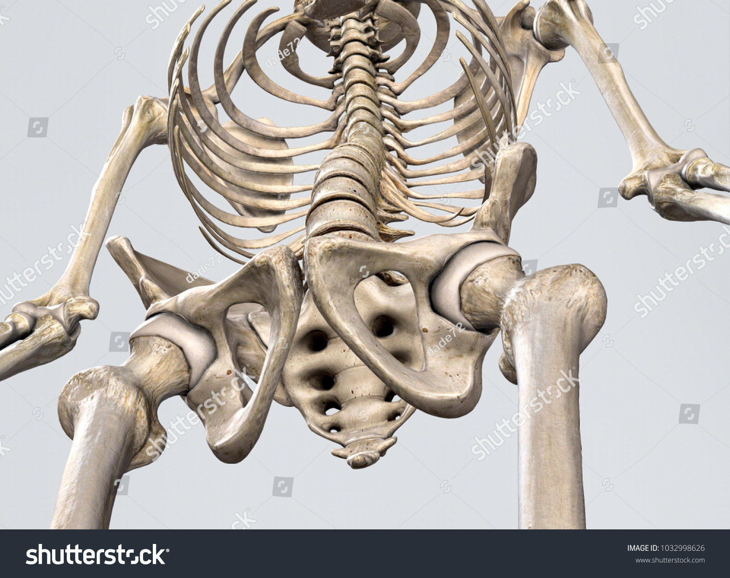 Detail Pelvis Spine Medically Accurate 3 D Stock Illustration