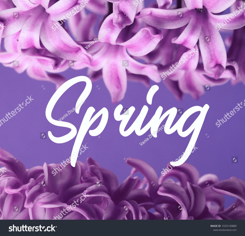 Hyacinth Ultraviolet Dutch Hyacinth Spring Flowers Stock Photo