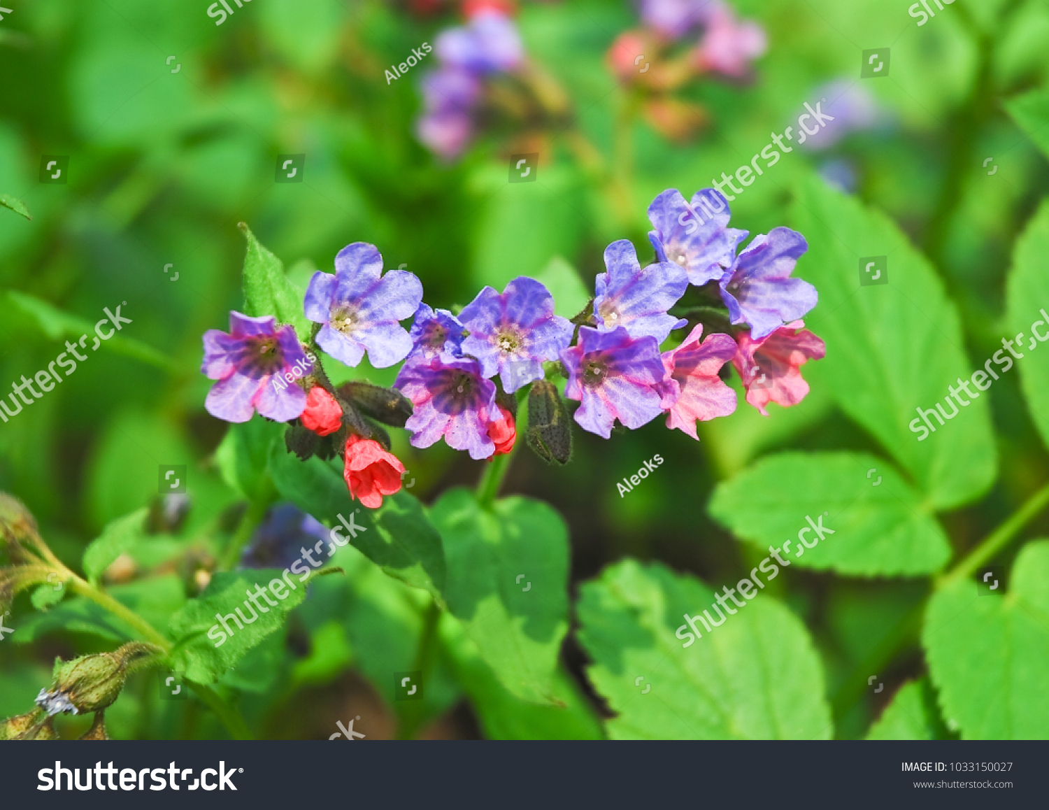 Pink Blue Flowers Unspotted Lungwort Suffolk Stock Photo Royalty