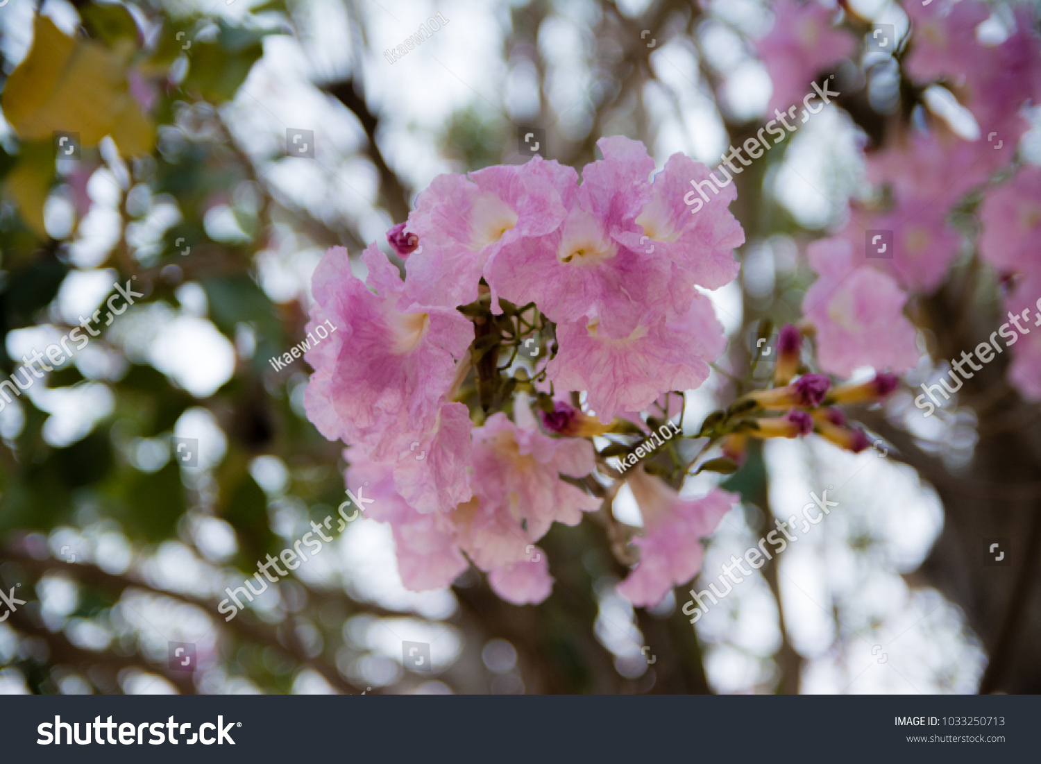 Close up flower pink tree park stock photo edit now 1033250713 close up flower pink tree in park and blurred background tabebuia rosea family mightylinksfo