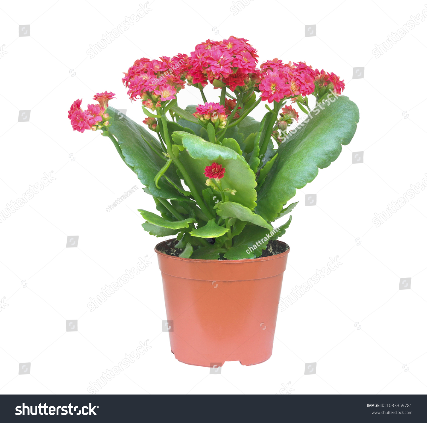 Red Kalanchoe Flower Brown Pot House Stock Photo Edit Now
