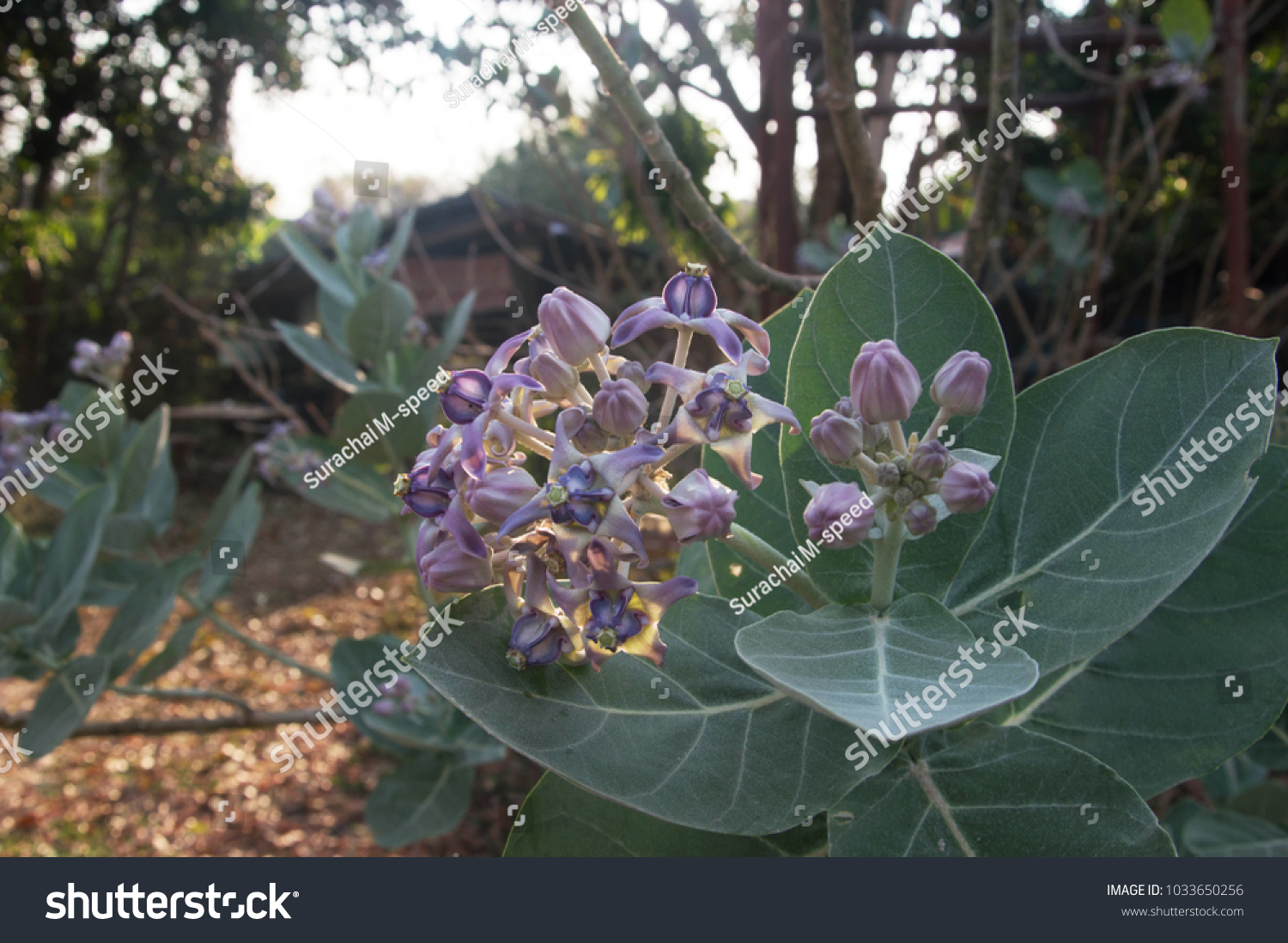 Purple Flowers Blooming Show Beauty Patterns Pollen Stock Photo