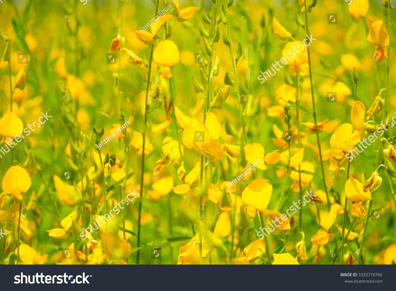 Chrysanthemum Flower Field In The Farm Ez Canvas