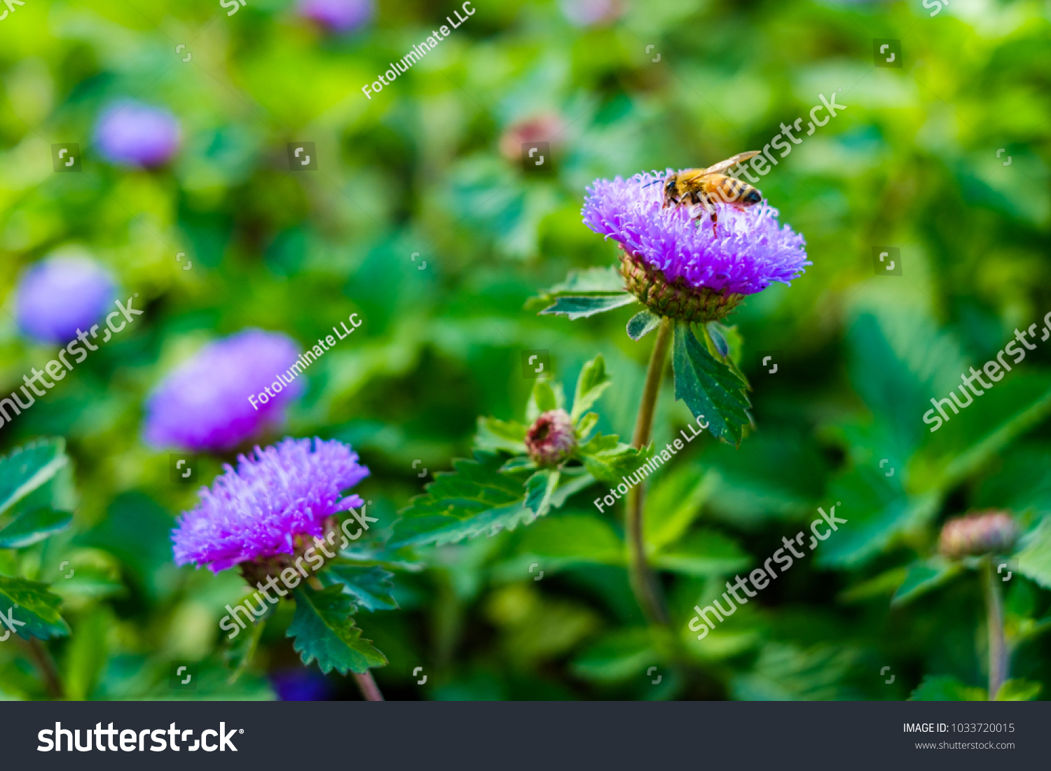 Close Up View Of Pretty Purple Flowers In A Garden With A Honey Bee