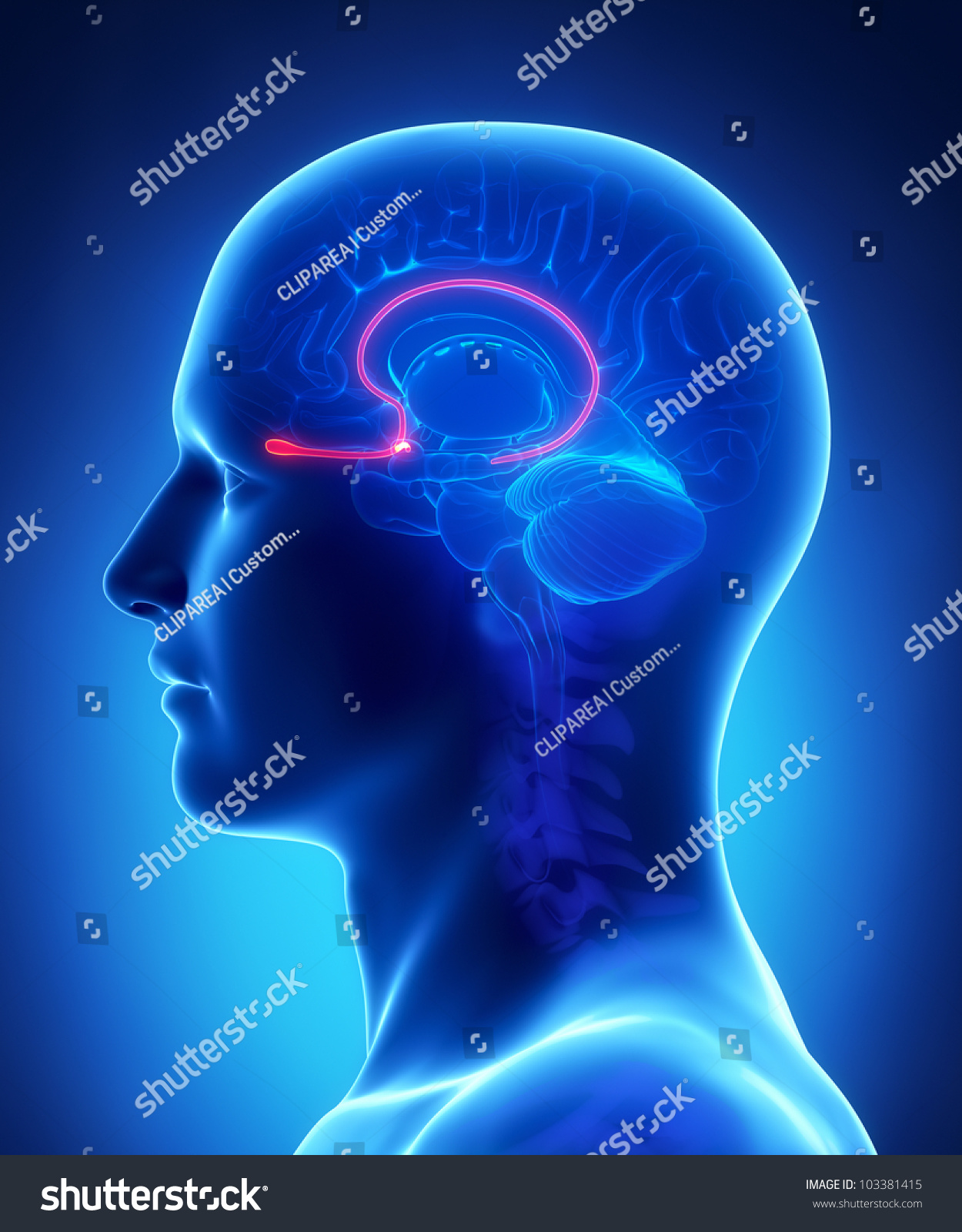 Brain Anatomy OLFACTORY BULB Cross Section Stock Illustration ...