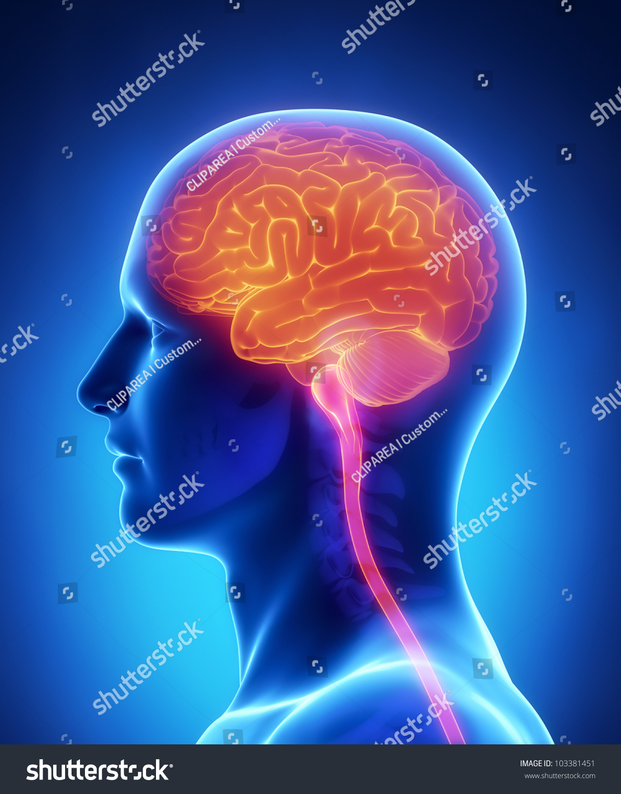Brain Spinal Cord Anatomy Cross Section Stock Illustration 103381451 ...