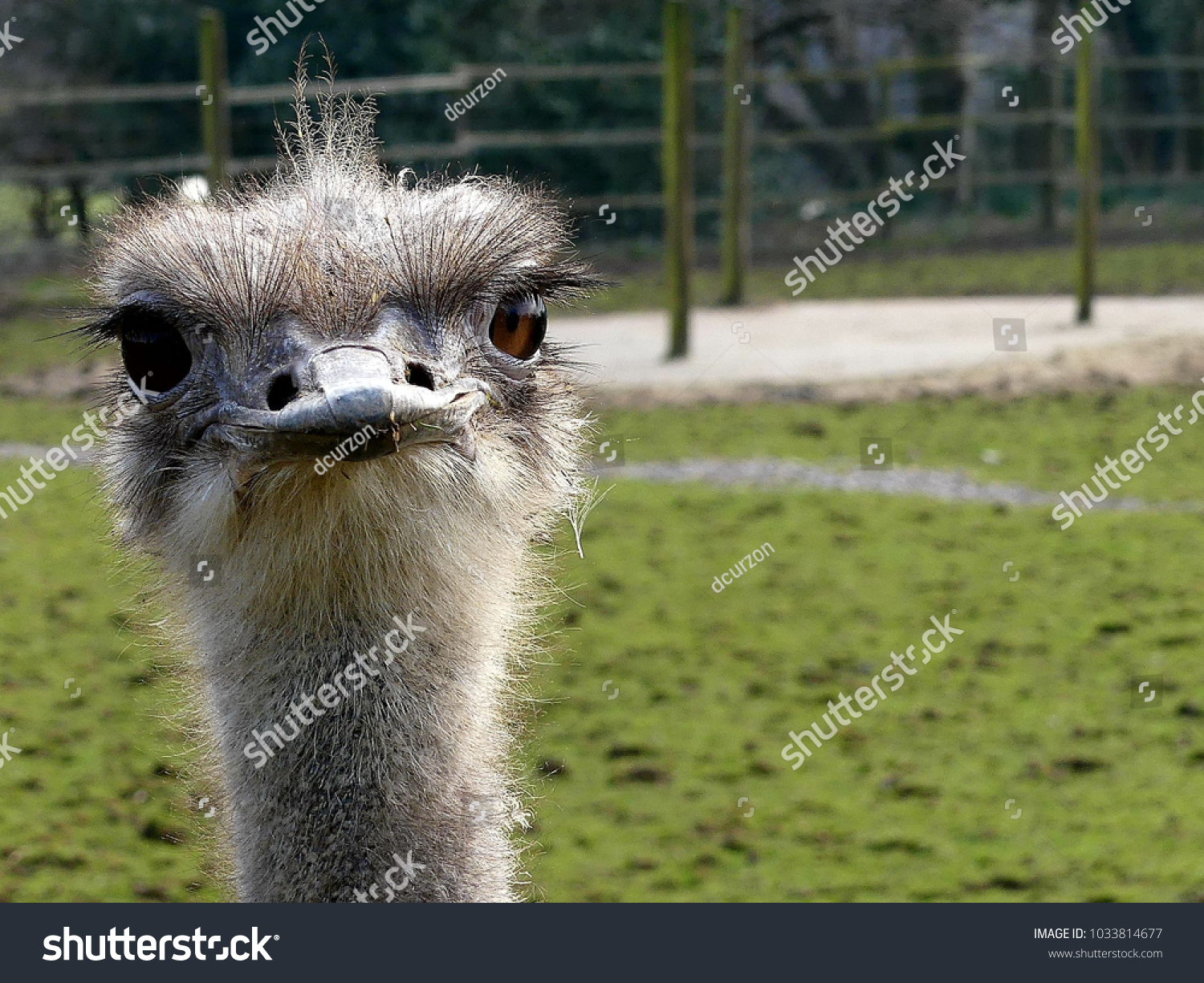 stock-photo-an-ostrich-staring-straight-