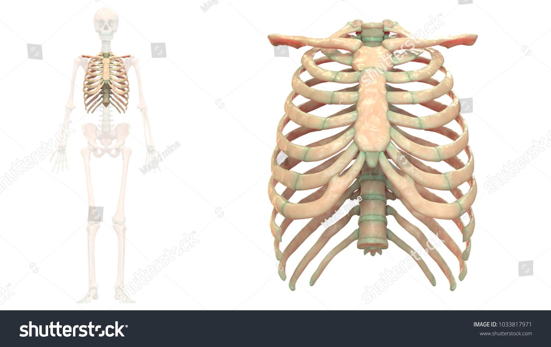 Human Skeleton System Thoracic Skeleton Anatomy Stock Illustration ...