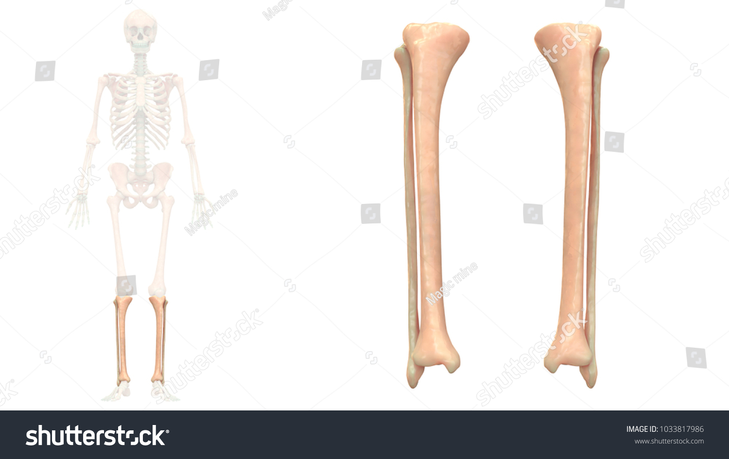 Human Skeleton System Tibia Fibula Anatomy Stock Illustration ...