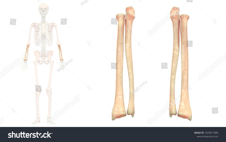 Beautiful Ulna Vs Radius Pattern - Human Anatomy Images ...