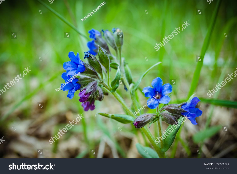 Small Blue Flower Closeup Blue Summer Stock Photo Royalty Free