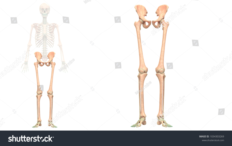 Human Skeleton System Lower Limbs Anatomy Stock Illustration ...