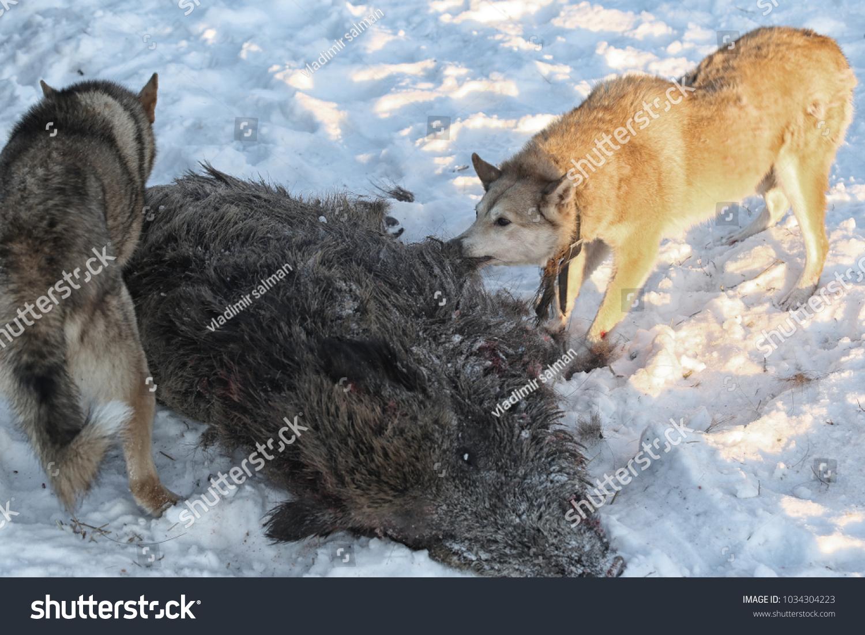 Hunting Wild Boar Dogs Husky Stock Photo (Edit Now) 1034304223