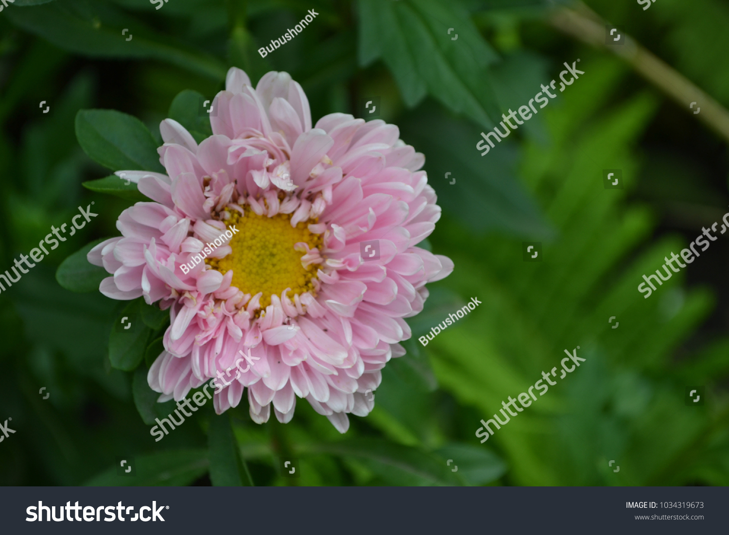 Autumn Flowers Flower Bed Pink Aster Stock Photo Royalty Free