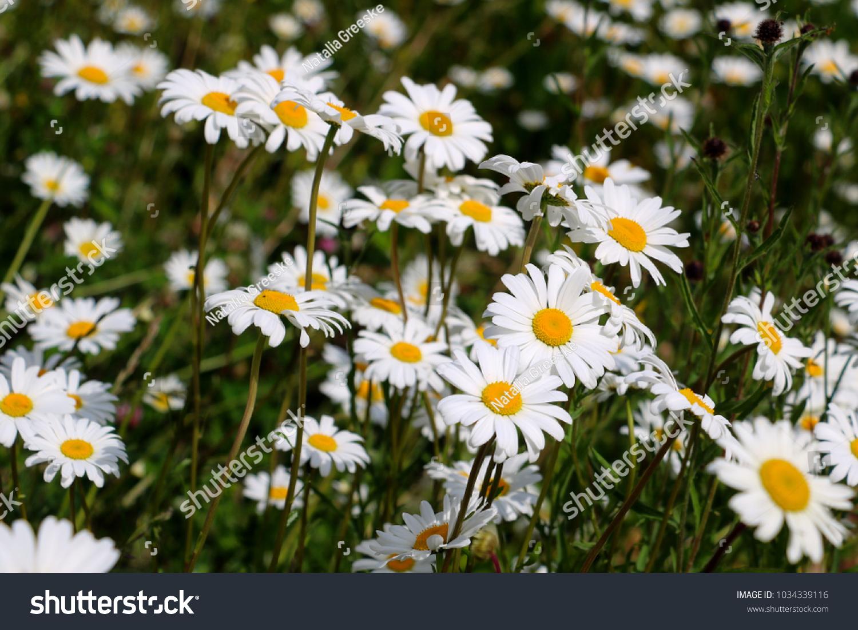 White daisy flowers ez canvas izmirmasajfo