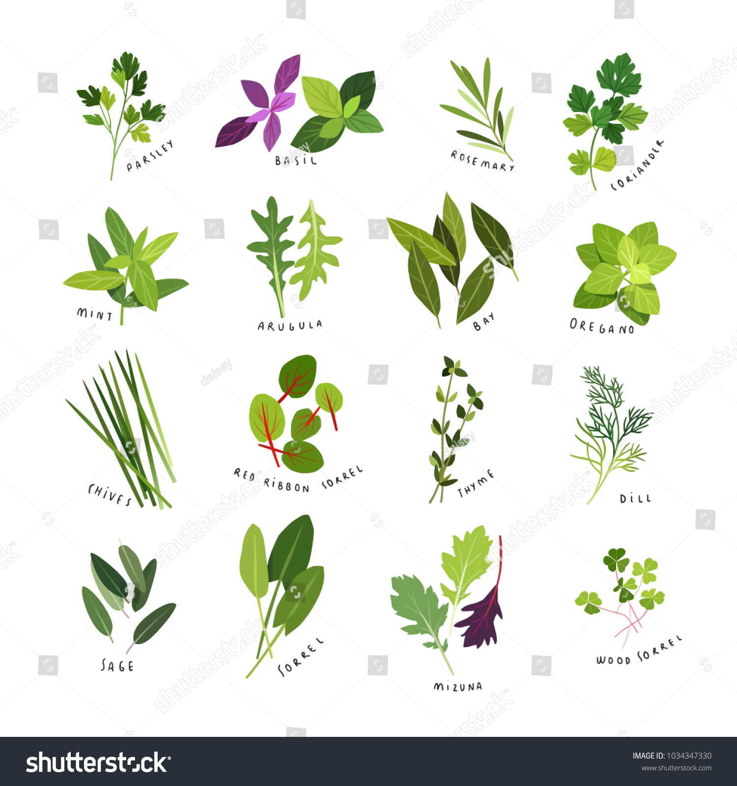 Clip art illustrations of herbs and spices such as parsley, basil, rosemary, coriander, mint, arugula, bay, oregano, chives, red ribbon sorrel, thyme, dill, sage, sorrel, mizuna and wood sorrel #1034347330