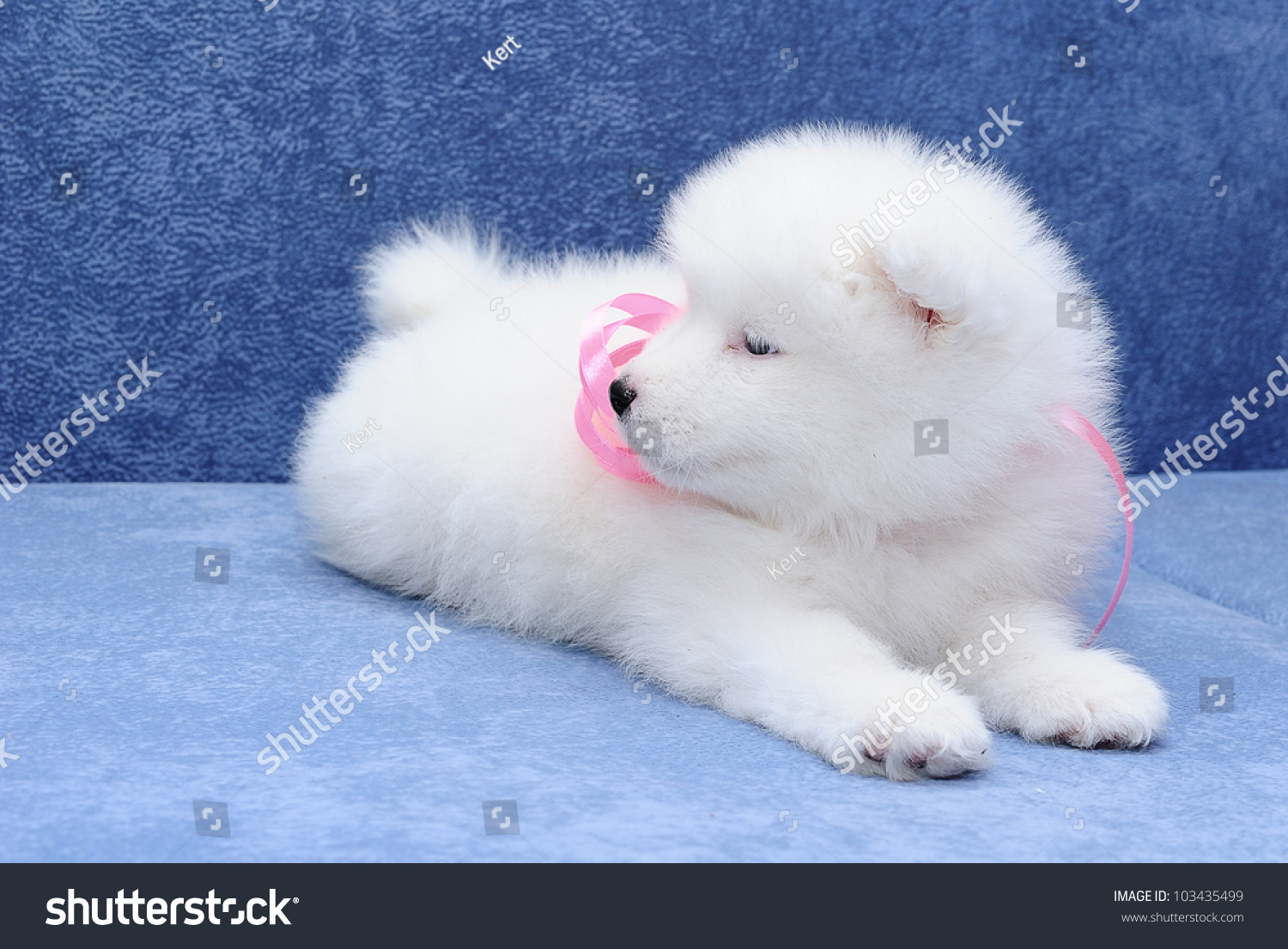 Cutest Smiling Samoyed Bjelkier Puppy Pink Stock Photo Edit Now 103435499