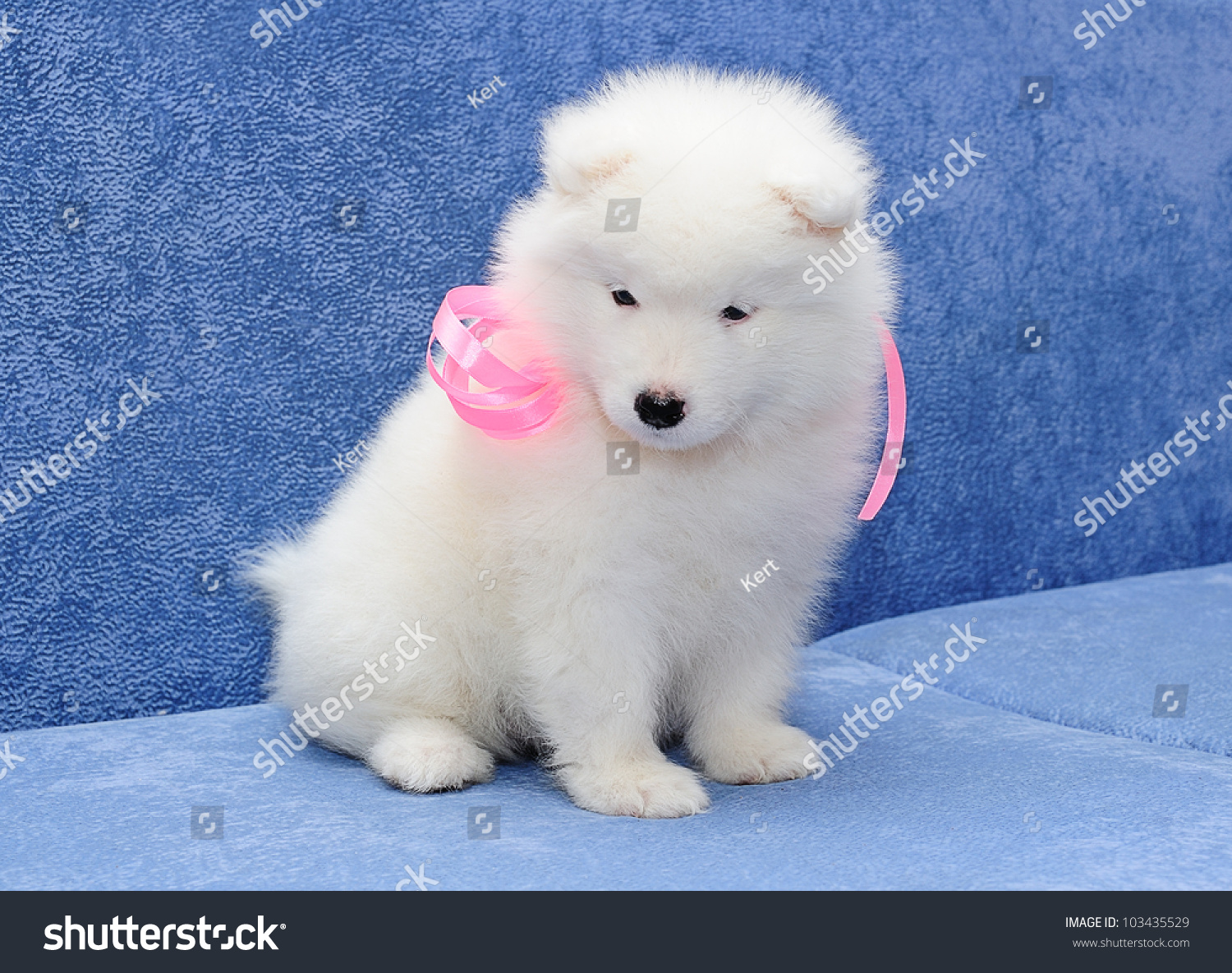Cutest Smiling Samoyed Bjelkier Puppy Pink Stock Photo Edit Now 103435529