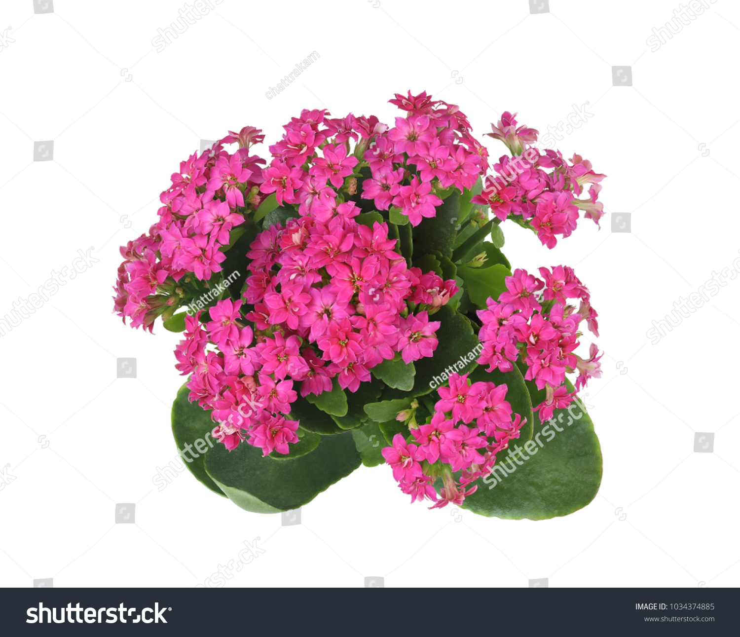 Top view purple kalanchoe flower house stock photo 100 legal top view of purple kalanchoe flower house plants isolated on white this has clipping mightylinksfo
