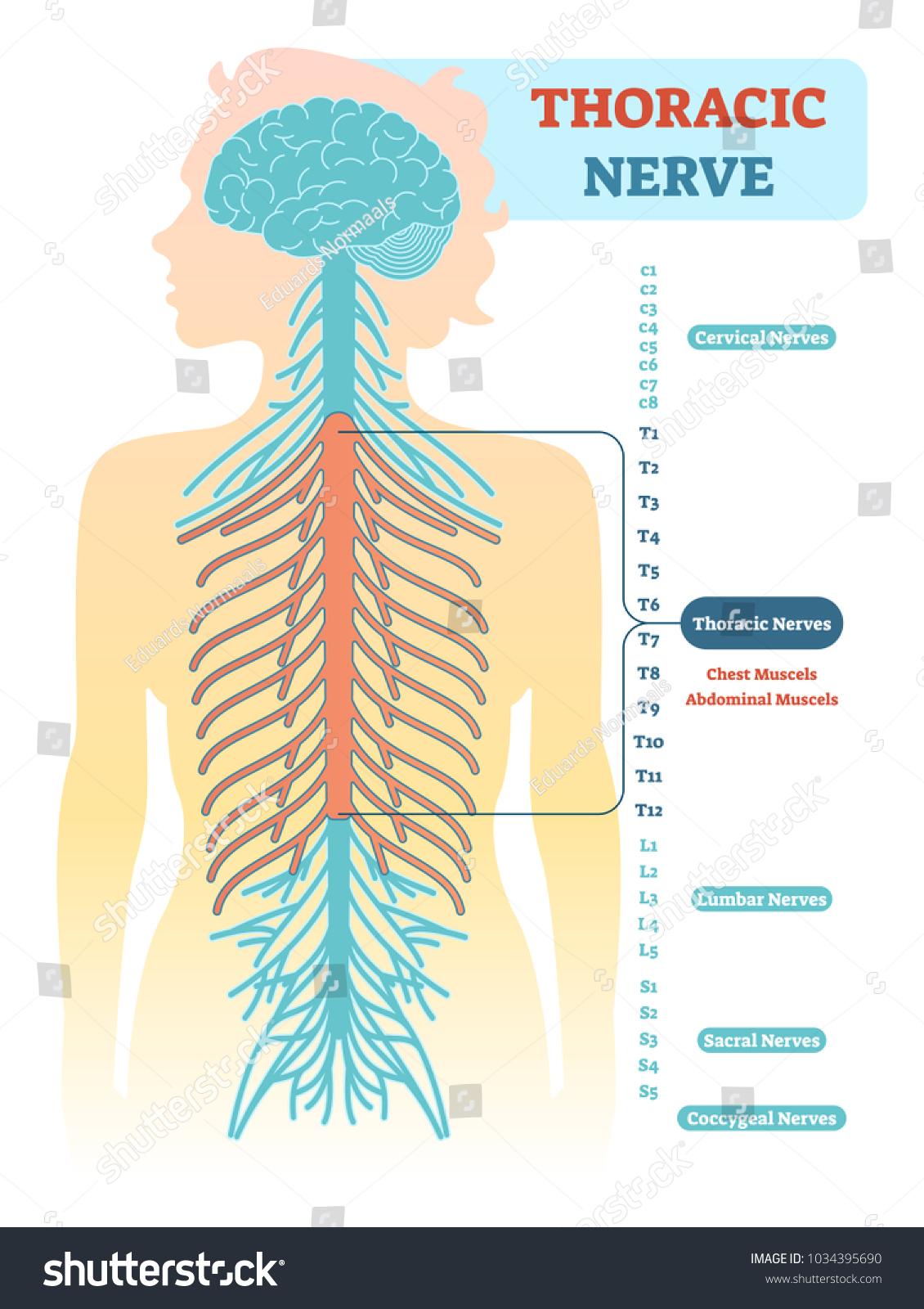 Thoracic Nerve Anatomical Diagram Medical Scheme Stock Vector