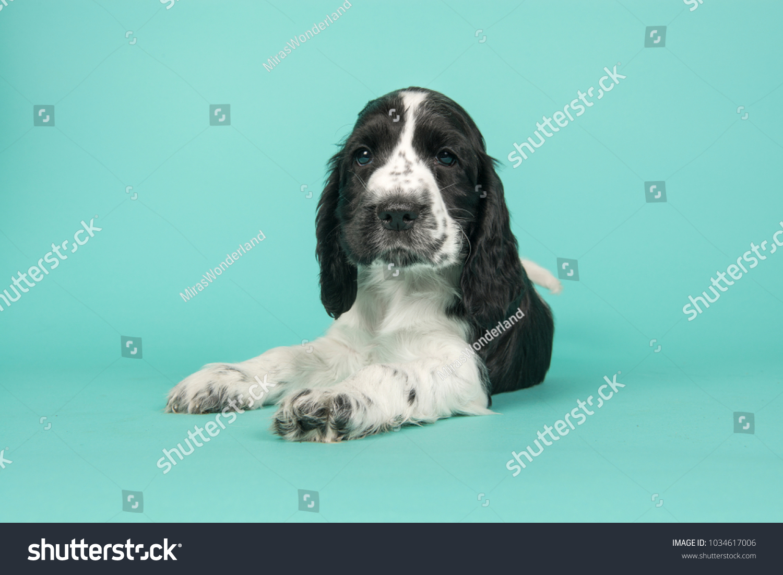 Cute Black White Cocker Spaniel Puppy Stock Photo Edit Now 1034617006