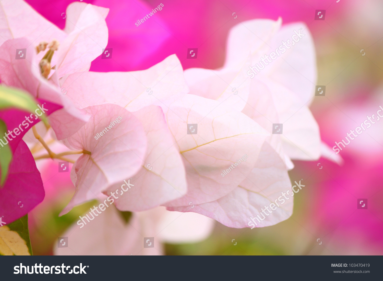 Pink Bougainvillea Flowers Inspirational Quotes Seasonal Stock Photo