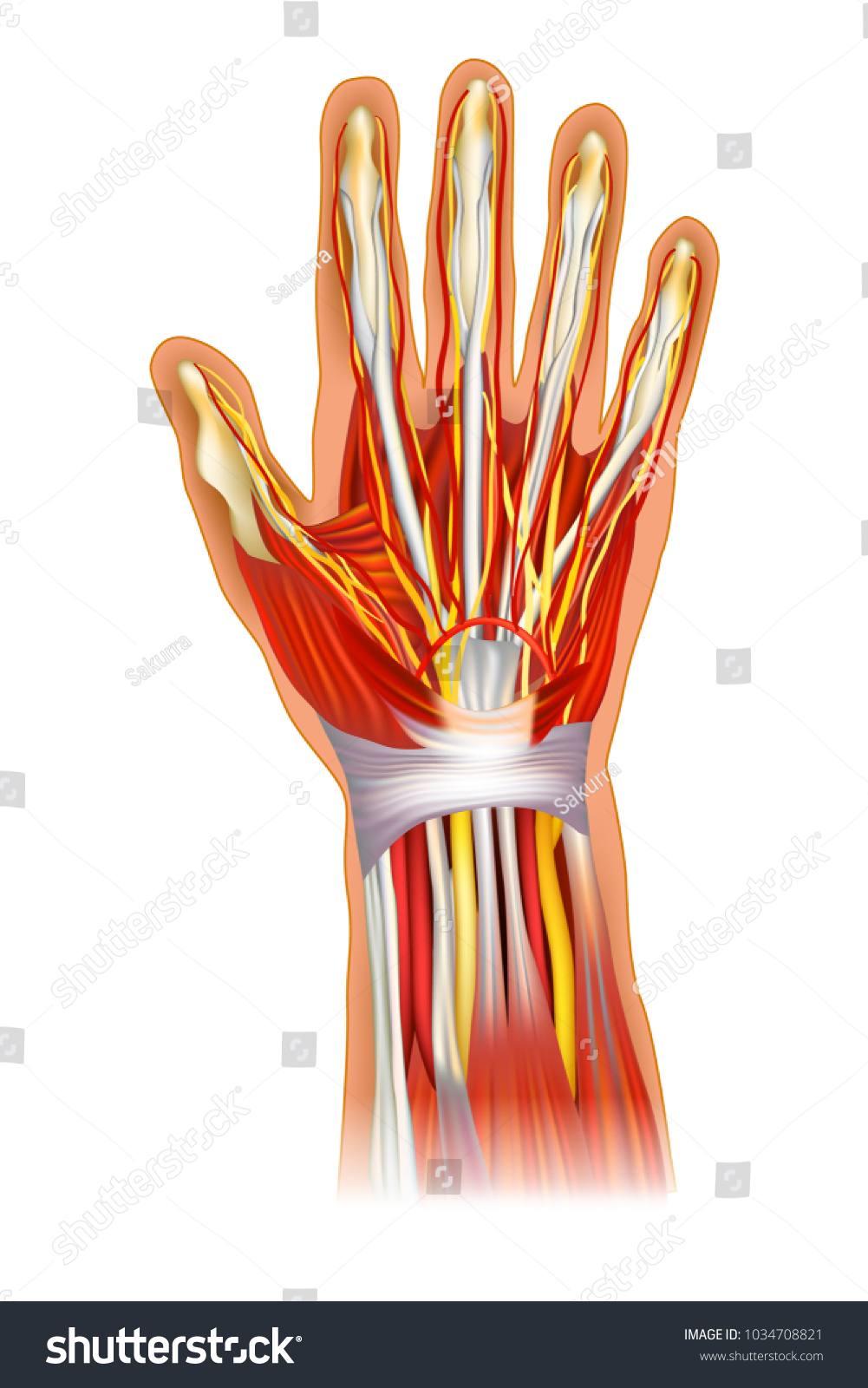 Human Hand Anatomy Illustration Anatomy Wrist Stock Vector ...