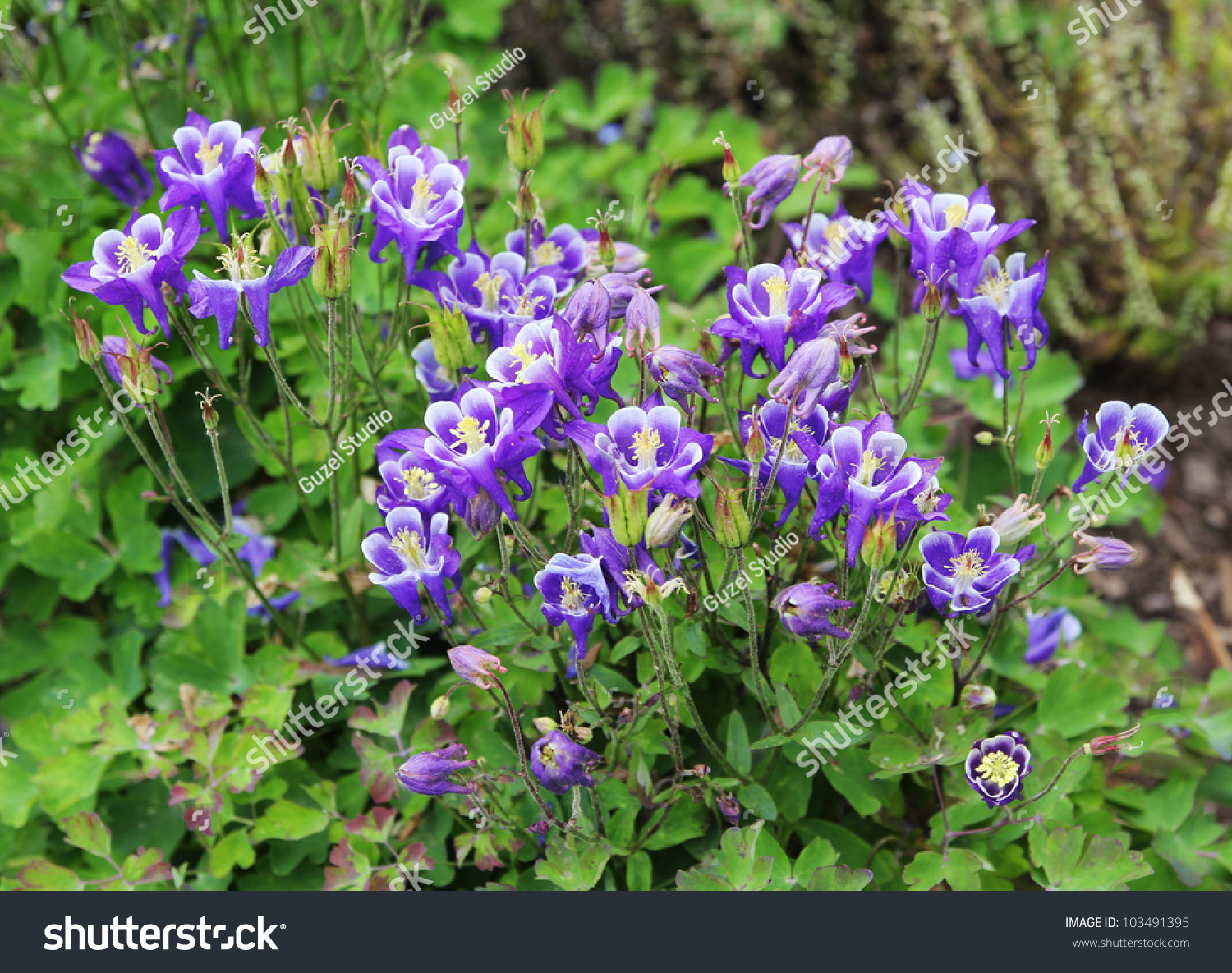 Beautiful purple flowers garden columbine aquilegia stock photo beautiful purple flowers in garden columbine aquilegia izmirmasajfo