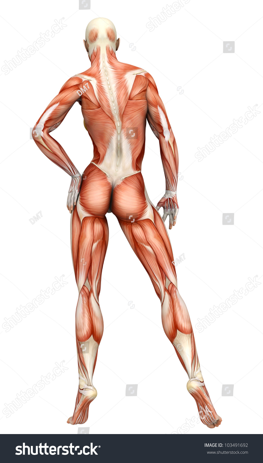 muscle woman back view stock illustration 103491692 - shutterstock, Muscles