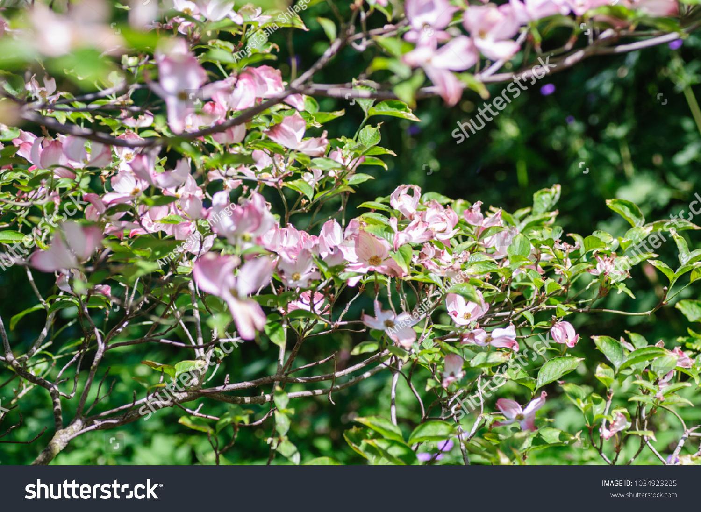 Pink Dogwood Tree Cornus Florida Full Stock Photo (Royalty Free ...