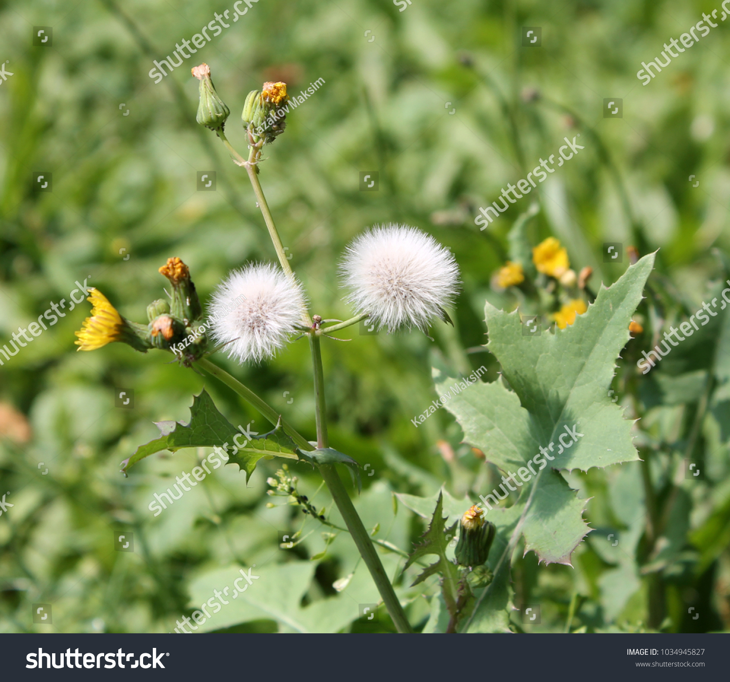 Field Sowthistle Sonchus Arvensis Yellow Flowers Stock Photo Edit