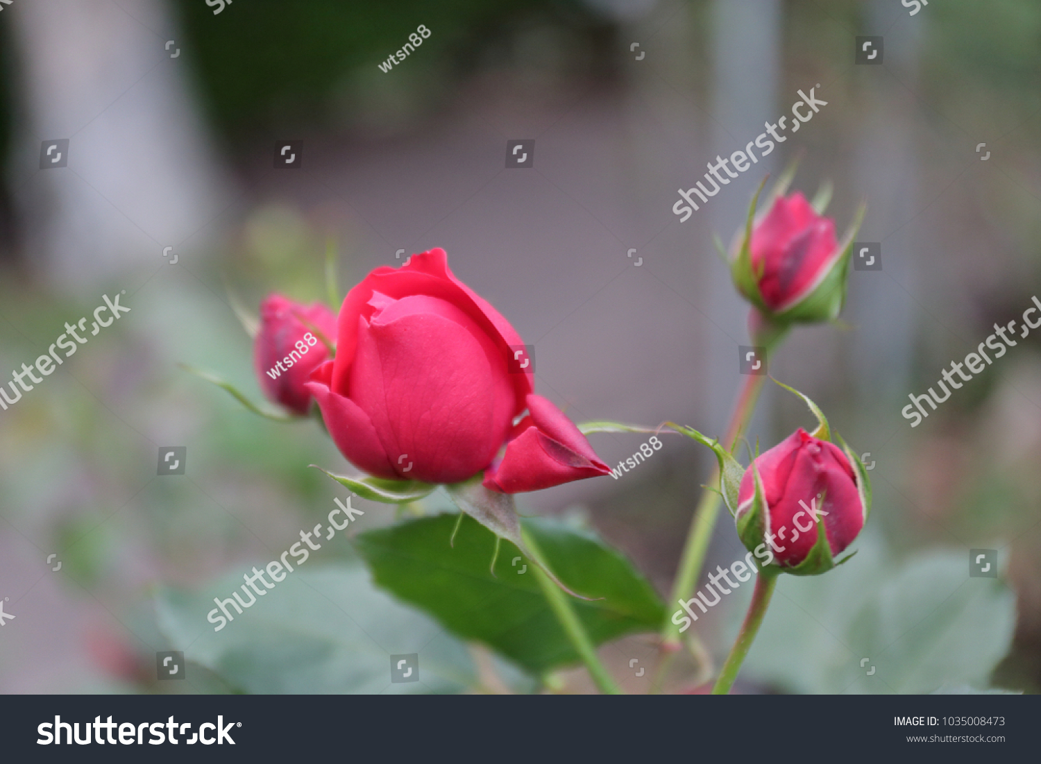 Roses In The Garden Roses Are Beautiful With A Beautiful Sunny Day