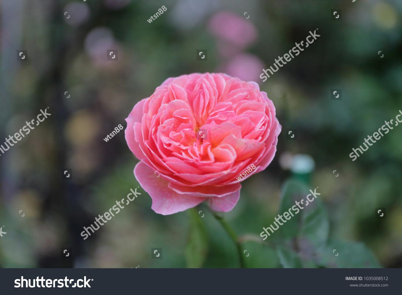 Damask Rose Vintage Flower Ez Canvas