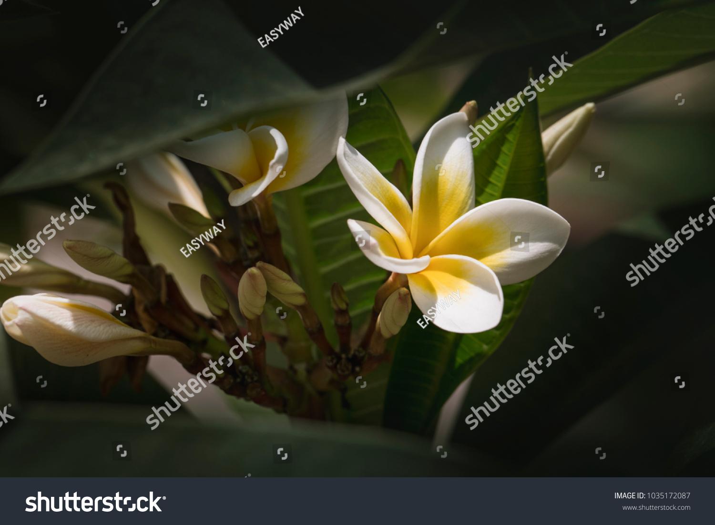 Yellow Plumeria Blooms Five Petal White Flowers Frangipani Ez Canvas